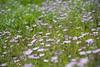 Fields of Pruple Fleabane's - Wildflowers along the Hellroaring Trail in Yellowstone National Park