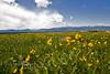 Fields of Wildflowers in Montana