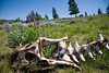 From Death Becomes Blooms - Specimen Trail Carcass - Yellowstone National Park