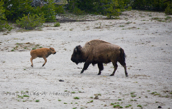 Yellowstone National Park - Week 1 June 2009