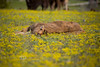 Sleeping in the Flower Garden - Baby Bison sleeping in a field of flowers - Madison Valley, Yellowstone National Park
