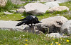Shaking Off - Raven Cleaning Off after a Bath - Yellowstone