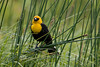 Yellow Headed Blackbird - Lamar Valley Yellowstone National Park