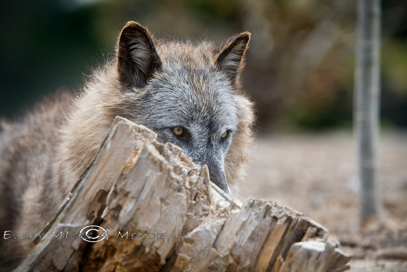 The Stalker - Wolf About to Pounce on a meal - West Yellowstone - Photo by Pat Bonish