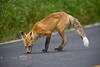 The Fox found something good to lick in the middle of the road in Yellowstone - Photo by Pat Bonish