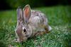 Little Bunny Fu-Fu - Wyoming Wildlife - Photo by Pat Bonish