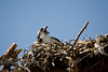 Screaming at the Sun Gods - Osprey in the Nest in West Yellowstone - Photo by Pat Bonish