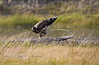 Immature Bald Eagle Shooting out some excess Cargo just before take-off - Madison River, Yellowstone National Park - Photo by Pat Bonish