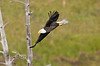 Bald Eagle in the Hayden Valley - Yellowstone National Park, Photo by Pat Bonish