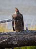 Baby Bald Eagle Crying for Mama - Madison River in Yellowstone National Park - Photo by Pat Bonish
