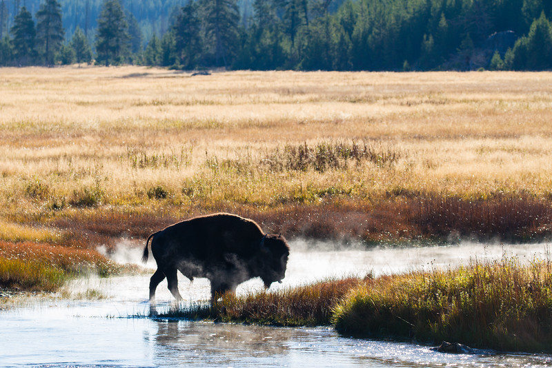 Bison in the Madison Valley