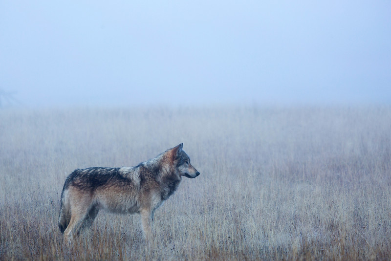A Wolf in the mist