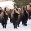 Bison In The Road