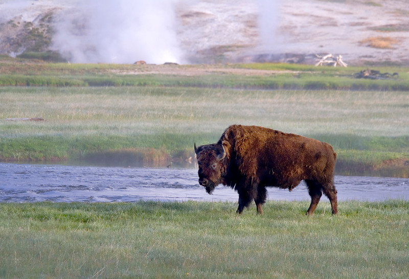 Bison near Biscuit Basin