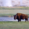 Bison near Biscuit Basin