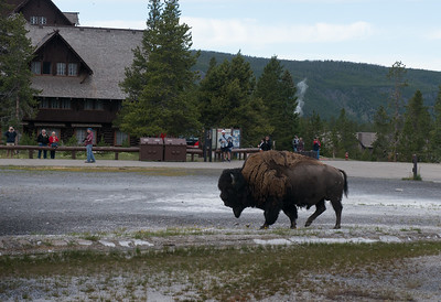 Bison roaming around Old Faithful.