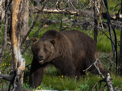 My first grizzly siting . Leaving the Grand Tetons on the way to Yellowstone