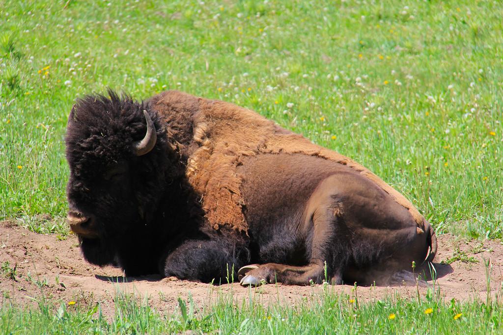 Wildlife of Yellowstone National Park - Wyoming