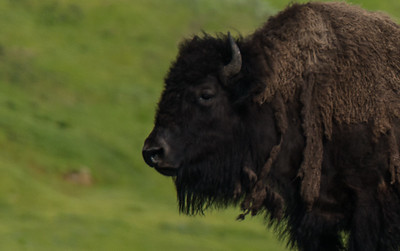 Bison Closeup