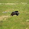 Bear Run!