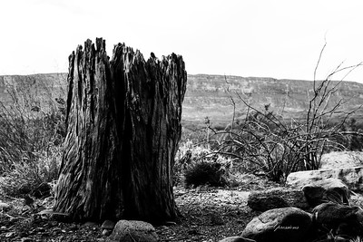 tree stump bw-sm_6663