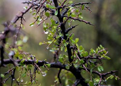 water drop on bush-sm_5938
