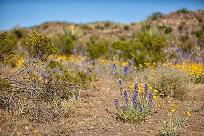 blue bonnets on hillside_9365