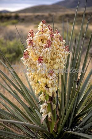 cactus bloom_9587