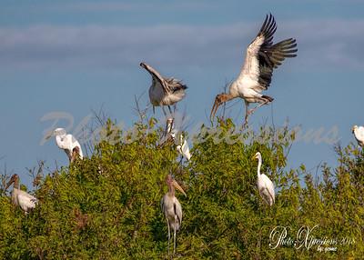 wood stork-wm_5867