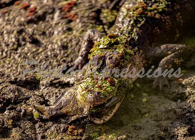 gator eating perch_6150