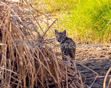 bob cat close up-wm_5534