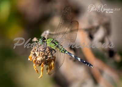 dragon fly-wm_6253