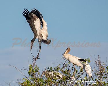 wood stork balancing-wm_5704
