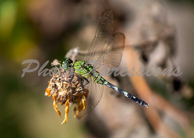 dragon fly_6253