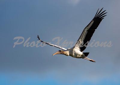 wood Stork_6103