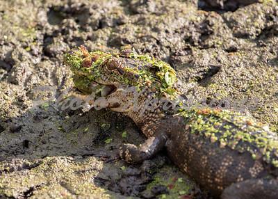 gator eating perch_6129