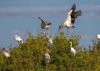 wood stork_5867