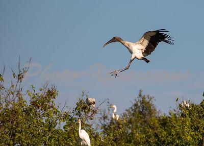 wood stork_5845