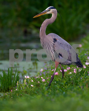 Great Blue Heron_4347