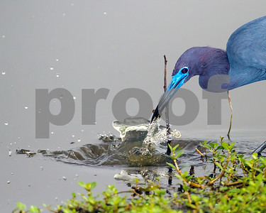 Little Blue Heron_4389