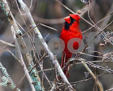 Cardinal_4492