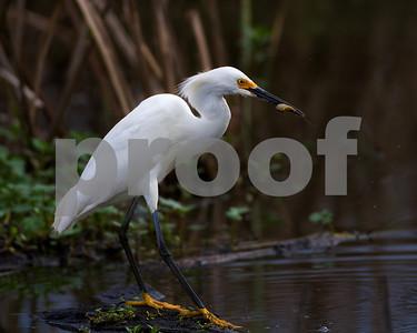 Snowy Egret-feeding_4469