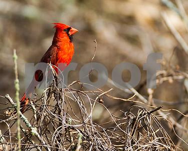Cardinal-_4500