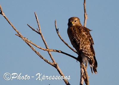 Red Shoulder Hawk_1888