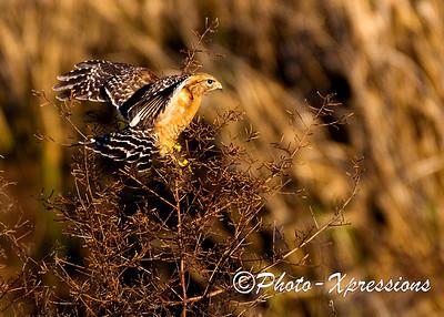 Red Shoulder Hawk_1895