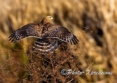 Red Shoulder Hawk_1904