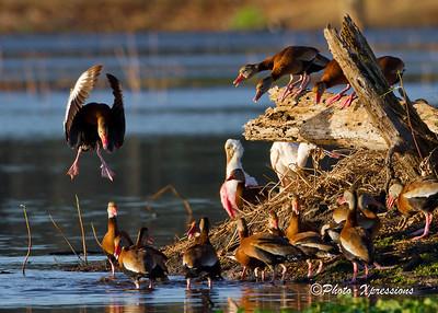 Ducks_1841