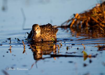 Duck_1792