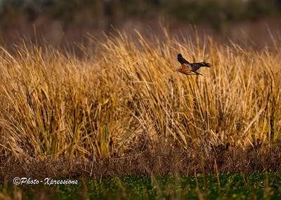 Red Shoulder Hawk_1925