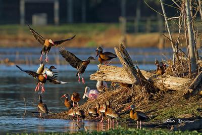 Ducks_1818